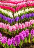 Variedad de jacinto del color. Imagen de archivo libre de regalías