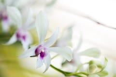 Variedad de orquídea Fotografía de archivo