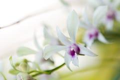 Variedad de orquídea Foto de archivo