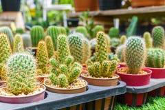Variedad de pequeños diversos cactus en potes en parada del mercado Fotos de archivo libres de regalías