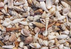 Variedad de seashells Foto de archivo libre de regalías