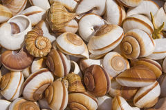Variedad de seashells Fotos de archivo