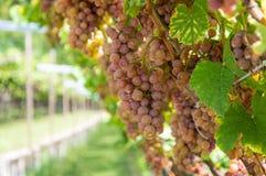 Variedade da uva de Gewurztraminer As origens do gewurztraminer parecem ser encontradas na região de Alto Adige de Itália e focal Foto de Stock