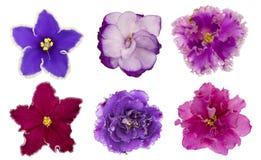 A variedade das flores violetas (saintpolia) isoladas no fundo branco Fotografia de Stock Royalty Free