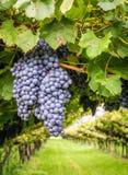 Variedade das uvas de cabernet - de sauvignon Cabernet - sauvignon é uma das variedades o mais extensamente reconhecidas da uva d fotos de stock