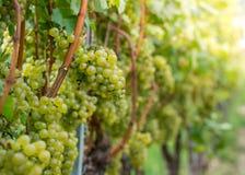 Variedade das uvas do blanc de Pinot Vitis - ` Pinot Blanc de vinifera imagens de stock