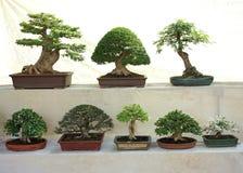 Variedade de árvores asiáticas dos bonsais na exposição da competição imagens de stock royalty free