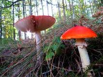 Variedade de cogumelos na floresta do outono Imagens de Stock