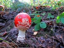 Variedade de cogumelos na floresta do outono Foto de Stock