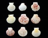 Variedade de escudos do mar Imagens de Stock