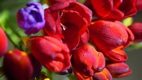 Variedade de frésias coloridas, tiro macro Fotografia de Stock