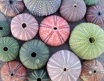 Variedade de ouriços-do-mar coloridos Fotografia de Stock