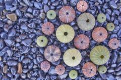 A variedade de ouriços-do-mar coloridos em pebles pretos encalha Imagens de Stock