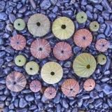 A variedade de ouriços-do-mar coloridos em pebles pretos encalha Imagens de Stock Royalty Free