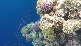 Variedade de peixes e de corais perto do furo azul video estoque