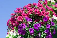 Variedade de petunias Fotografia de Stock