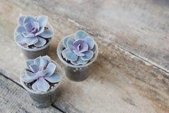 A variedade de plantas carnudas em pasta planta o fundo de madeira rústico de Graptoveria Titubans isoalted imagens de stock royalty free