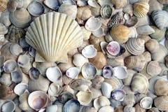 Variedade dos seashells Foto de Stock Royalty Free