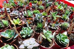 A variedade loteia plantas diferentes do cacto dos cactos das plantas carnudas em uns potenciômetros do jardim Imagens de Stock
