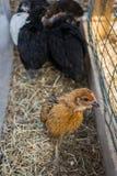 Variedade misturada de pintainhos adolscent da galinha na corrida de galinha Fotografia de Stock Royalty Free