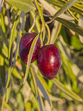Variedade verde-oliva Cornicabra imagem de stock royalty free