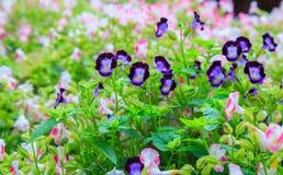 Variedades das flores do ossinho da sorte, Bluewings ou Torenias, como o jardim decorativo dos wildflowers brilhantes frescos bon foto de stock