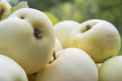 Variedades das maçãs Imagens de Stock
