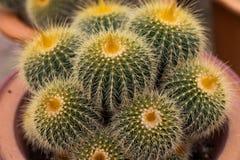 Variedades de planta del cactus en el pote Ciérrese encima de la visión Foco selectivo imagen de archivo