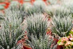 Variedades de planta do cacto no potenciômetro Feche acima da vista Foco seletivo fotografia de stock royalty free