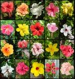 Variedades del hibisco Fotografía de archivo libre de regalías