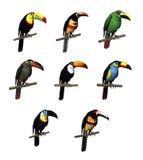 Variedades del tucán Imágenes de archivo libres de regalías