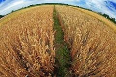 Variedades diferentes de trigo na opinião 5 do Peixe-olho Imagem de Stock
