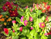 Variedades vermelhas, roxas, violetas e alaranjadas de plantas da prímula fotografia de stock