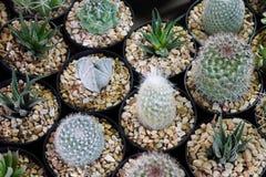 Varieer Cactus Stock Fotografie