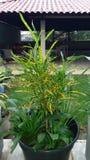 Variegat-Croton Grüngelb Lizenzfreie Stockfotografie