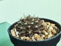 Variegata del rojo del mihanovichii del Gymnocalycium Cactus en el pote plástico Planta tolerante de la sequía fotos de archivo