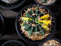 Variegata di ferocactus Immagine Stock
