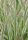Variegata do Carex, grama Imagem de Stock Royalty Free