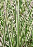 Variegata van Carex, gras Royalty-vrije Stock Afbeelding