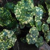 Variegated листья в саде Стоковая Фотография RF