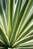 variegated кактус столетника Американа Стоковая Фотография
