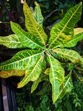 Variegated лавр, Croton сада, ‹plant†‹leaves†стоковое фото