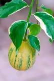 variegated лимон Стоковые Изображения RF