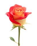 Variegated роза желтого цвета и апельсина Стоковая Фотография RF