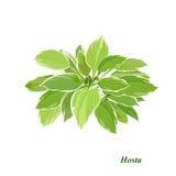 variegated хозяин Стоковые Фото