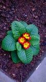 Variegated цветок Стоковые Фотографии RF