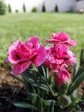variegated цветок Стоковое фото RF