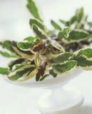 variegated шалфей стоковое фото