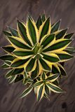 Variegated Agave Plant Royalty Free Stock Photos