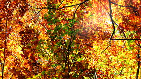Variegated autumn treetops Stock Images